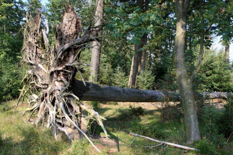 2 wortelkluit omgevallen boom