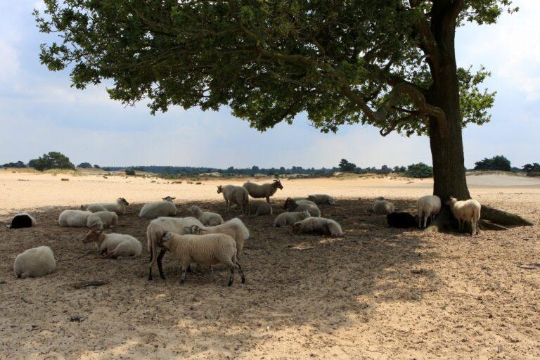 3 kudde schapen