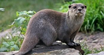 De Otter in Friesland moet beschermd worden, vindt de Provincie Fryslân. Daarom komen zij met een heus stappenplan om de otter te beschermen tegen de gevaarlijke wegen.