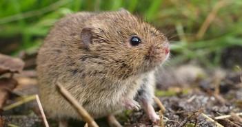 CDA Fryslân is de muizenplaag zat. Al maanden lang zijn muizen de grootste zorg van de boeren in Súdwest-Fryslân. De kleine beestjes zorgen voor miljoenen euro's aan schade.