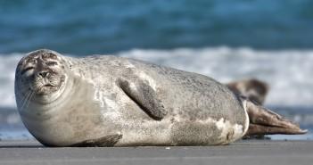 De Waddeneilanden treffen maatregelen tegen zieke en dode zeehonden die zijn aangespoeld. Dit vanwege een virus wat momenteel heerst.