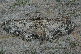 Het Leeuwarder Bos telt meer dan 200 soorten nachtvlinders. Dat blijkt uit een onderzoek van Jeroen Breidenbach en Merel Zweemer.
