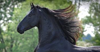 Een ode aan het Friese paard