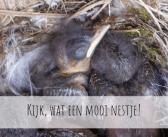 Een nestje van de Grauwe Vliegenvanger
