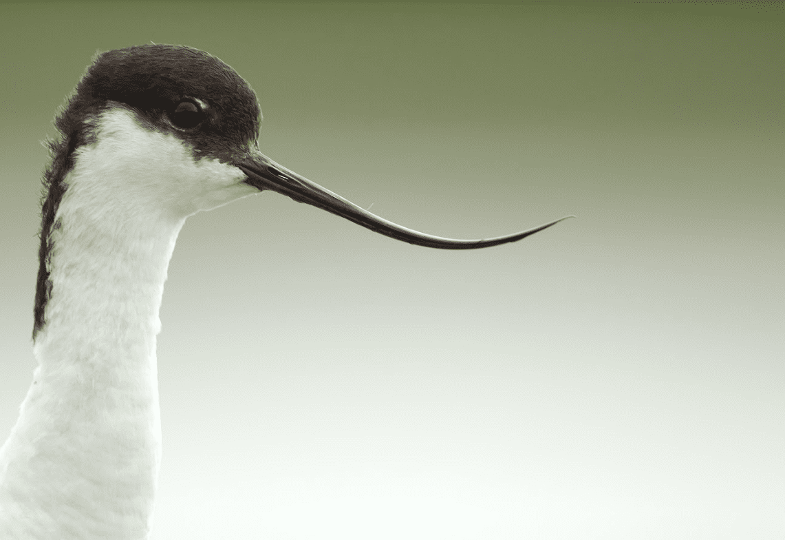 Kluut, foto van Hans Pietersma