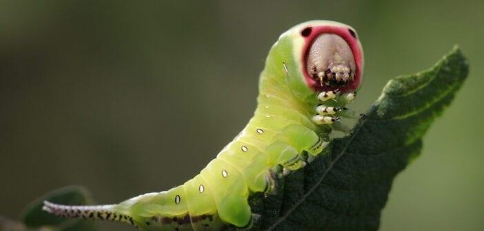 Nachtvlinderrupsen: kleurig, harig, glad en soms een beetje vreemd